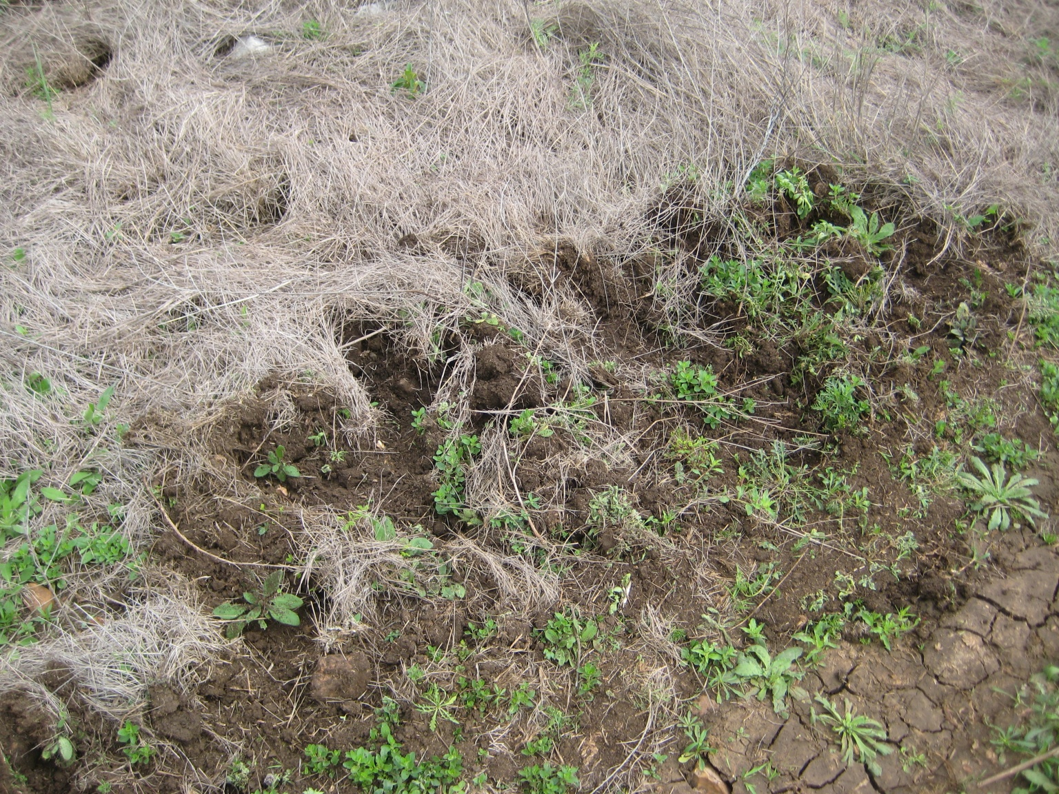 No snake in this picture, but here's evidence of feral hogs. They ...