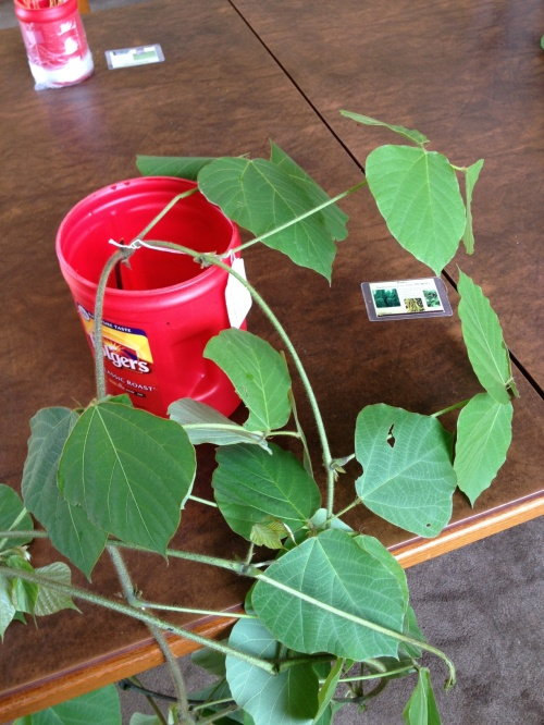 A sample of kudzu, a nasty invasive species