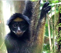 Amazonian Primate (Photo credit: UT Austin - Environmental Science Institute.)