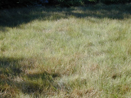 Buffalo grass: A great native Texas grass (Photo credit: Lady Bird Johnson Wildflower Center)