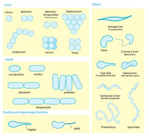 Bacterial morphology diagram (Image credit: Mariana Ruiz with Wikipedia)