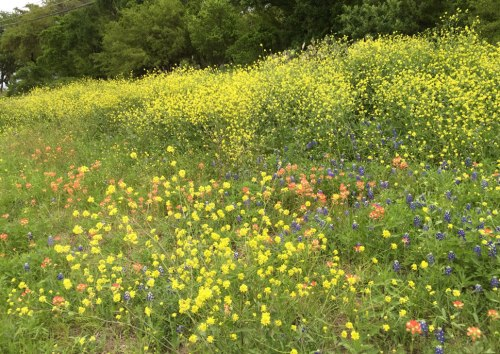 A tsunami of Yellow Bastard Cabbage flowers threatens to overwhelm Texas wildflowers